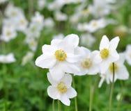 Flores brancas bonitas imagem de stock