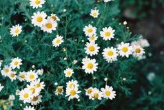 Flores brancas bonitas Foto de Stock