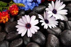 Flores brancas bonitas com as pedras no fundo escuro Imagens de Stock Royalty Free