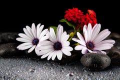 Flores brancas bonitas com as pedras no fundo escuro Imagens de Stock