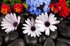 Flores brancas bonitas com as pedras no fundo escuro Fotos de Stock