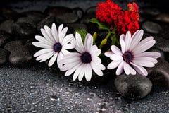 Flores brancas bonitas com as pedras no fundo escuro Imagem de Stock