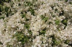 Flores brancas bonitas da buganvília Foto de Stock Royalty Free