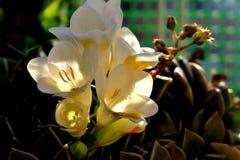 Flores brancas bonitas da mola com um centro amarelo imagens de stock