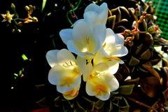 Flores brancas bonitas da mola com um centro amarelo fotos de stock