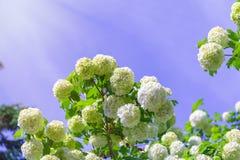 Flores brancas bonitas de florescência no jardim do verão Arbusto de florescência do Viburnum em um dia ensolarado brilhante fotos de stock royalty free