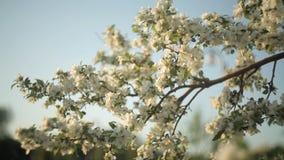 Flores brancas bonitas de uma árvore de maçã contra um céu azul no verão nave video estoque
