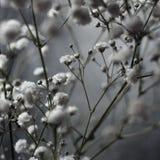 Flores brancas bonitas do Gypsophila na mola foto de stock royalty free