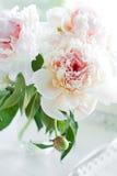Flores brancas bonitas do peony fotos de stock royalty free