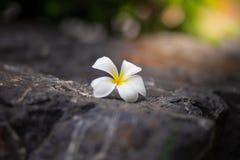Flores brancas bonitas no assoalho de pedra no borrado na luz solar imagem de stock