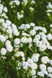 Flores brancas bonitas pequenas Imagem de Stock