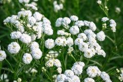 Flores brancas bonitas pequenas Fotos de Stock