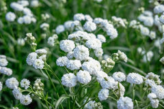 Flores brancas bonitas pequenas Imagem de Stock Royalty Free