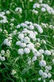 Flores brancas bonitas pequenas Foto de Stock Royalty Free