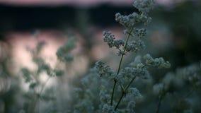 Flores brancas bonitas perto do rio na noite Movimento lento do ` s da câmera video estoque