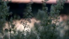 Flores brancas bonitas perto do rio na noite Movimento lento do ` s da câmera vídeos de arquivo