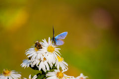 Flores brancas, borboleta Fotos de Stock Royalty Free