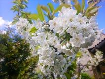 Flores brancas brilhantes de uma árvore de cereja na mola foto de stock royalty free