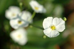 Flores brancas brilhantes pequenas Fotografia de Stock Royalty Free