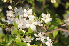 Flores brancas brilhantes pequenas Mola fotografia de stock