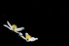 Flores brancas com centro amarelo no isolado preto Foto de Stock