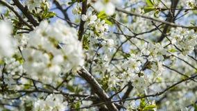 Flores brancas da árvore da maçã ou de cereja Imagem de Stock Royalty Free