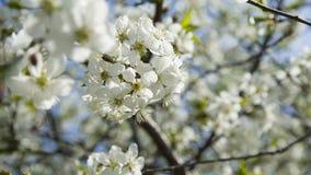 Flores brancas da árvore da maçã ou de cereja Imagens de Stock