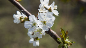 Flores brancas da árvore da maçã ou de cereja Fotografia de Stock