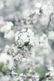 Flores brancas da árvore de cereja Fotos de Stock Royalty Free