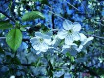 Flores brancas da árvore de cereja contra o céu azul, estação da mola foto de stock