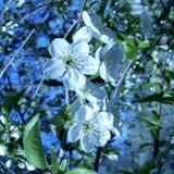 Flores brancas da árvore de cereja contra o céu azul, estação da mola fotos de stock