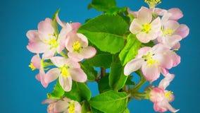 Flores brancas da árvore de maçã filme