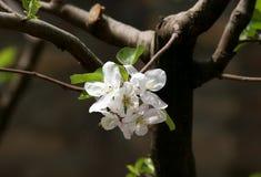 Flores brancas da árvore de maçã foto de stock