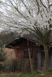 Flores brancas da árvore de maçã Fotos de Stock Royalty Free