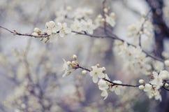 Flores brancas da árvore na mola Apenas chovido sobre Imagem de Stock Royalty Free