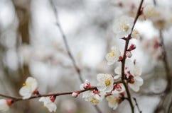 Flores brancas da árvore na mola Apenas chovido sobre Foto de Stock Royalty Free
