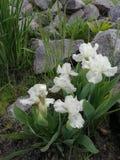 Flores brancas da íris imagens de stock royalty free