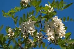 Flores brancas da acácia Fotos de Stock Royalty Free