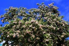 Flores brancas da acácia em Crimeia Fotografia de Stock Royalty Free