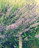 Flores brancas da alfazema vistas perto acima Foto de Stock Royalty Free