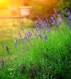 Flores brancas da alfazema vistas perto acima Imagens de Stock