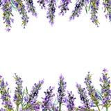 Flores brancas da alfazema vistas perto acima Quadro da aquarela ilustração royalty free
