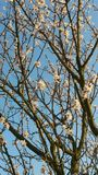 Flores brancas da amêndoa Fotografia de Stock