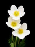 Flores brancas da anêmona Fotografia de Stock
