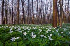 Flores brancas da anêmona no gramado fotos de stock royalty free