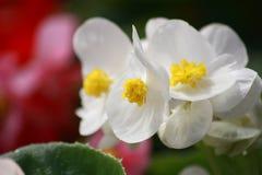 Flores brancas da begônia Fotografia de Stock