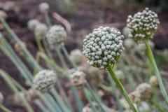 Flores brancas da cebola de florescência no campo ou no jardim do outono foto de stock royalty free
