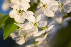 Flores brancas da cereja Imagens de Stock Royalty Free