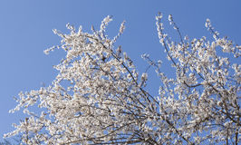 Flores brancas da cereja Fotos de Stock Royalty Free