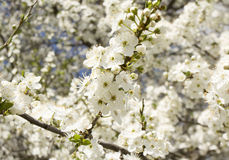 Flores brancas da cereja Fotografia de Stock Royalty Free